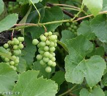 Jak zrobić wino z ogrodowych winogron?