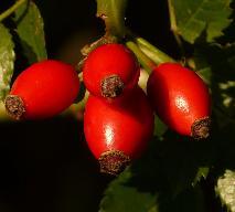 Dzika róża - właściwości i zastosowanie lecznicze